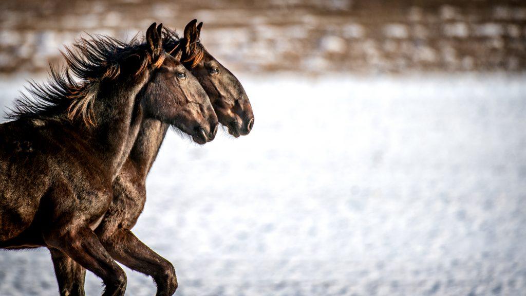 Kladrubský kůň galerie 2
