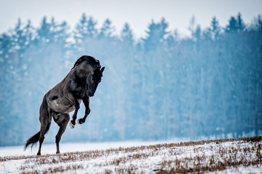 Kladrubský kůň