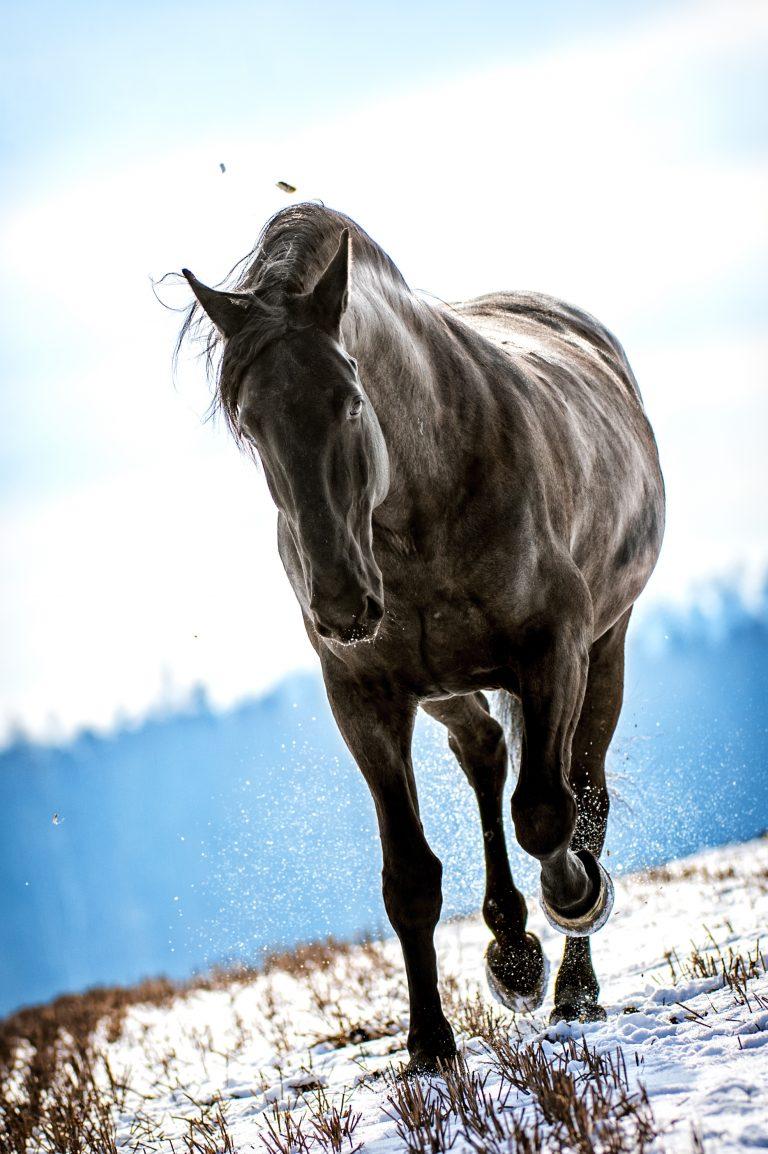 Kladrubský kůň galerie 4